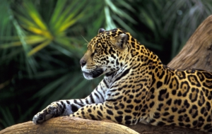Leopard High Definition Wallpapers