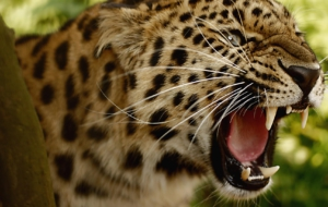 Leopard High Quality Wallpapers