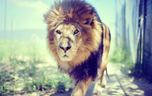 Lion Full HD