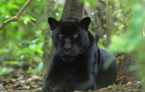 Panther High Definition Wallpapers