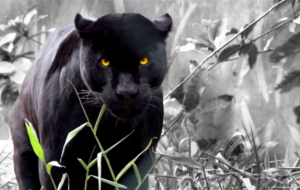 Panther Photos