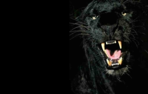 Panther Widescreen