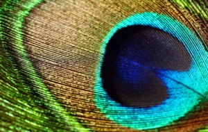 Peacock HD Background