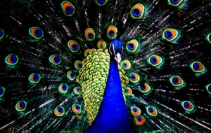 Peacock High Definition