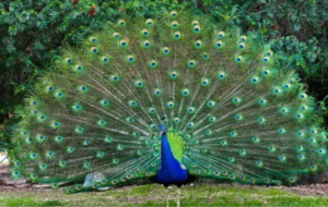 Peacock High Definition Wallpapers