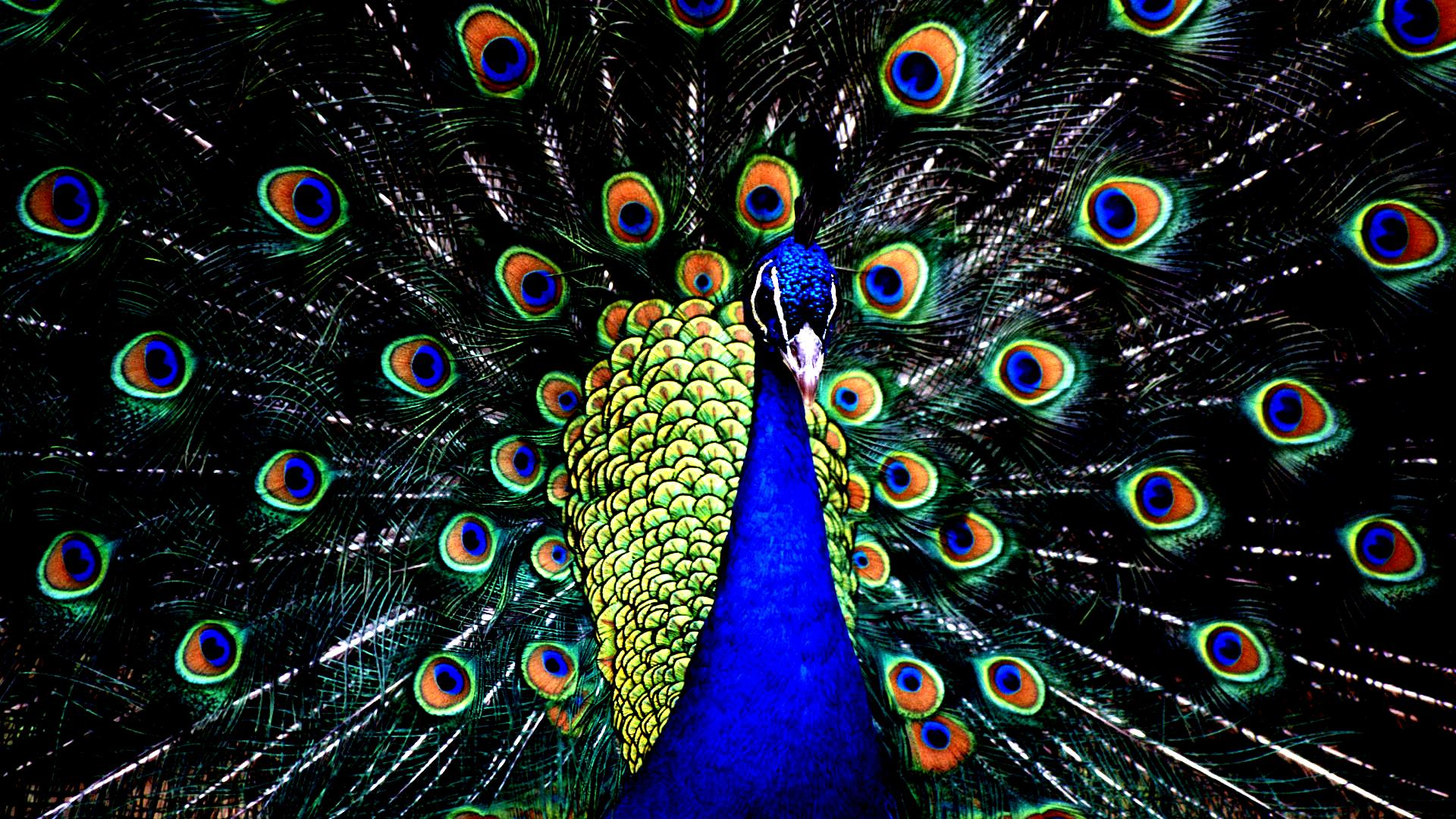 Hd Wallpapers Hd Backgrounds: Peacock HD Wallpapers