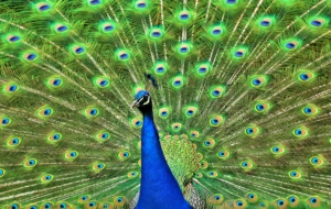 Peacock Widescreen