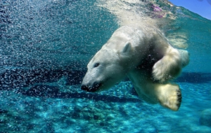 Polar Bear HD