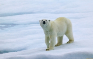 Polar Bear Wallpapers HD