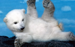 Polar Bear Full HD