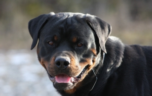 Rottweiler Background