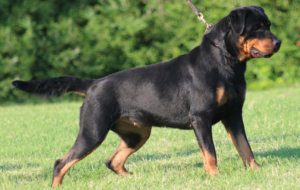 Rottweiler HD Background