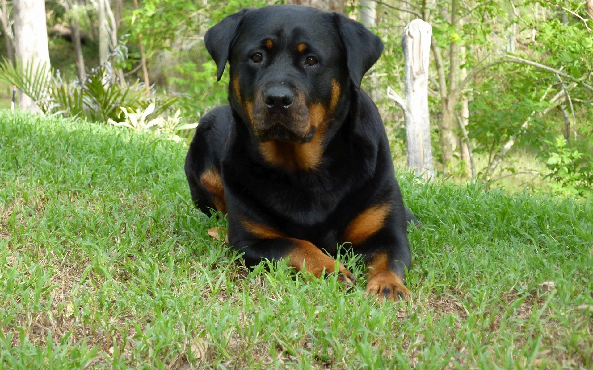 Pictures of a german rottweiler Rottweiler Dog Breed Information and Pictures