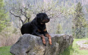 Rottweiler High Definition