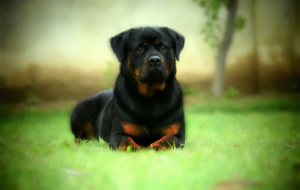 Rottweiler High Definition Wallpapers