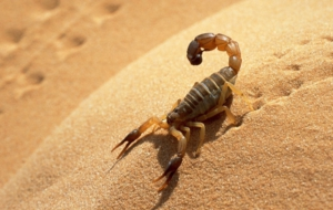 Scorpion Widescreen