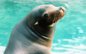 Sea Lion HD Background