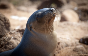 Sea Lion HD Wallpaper