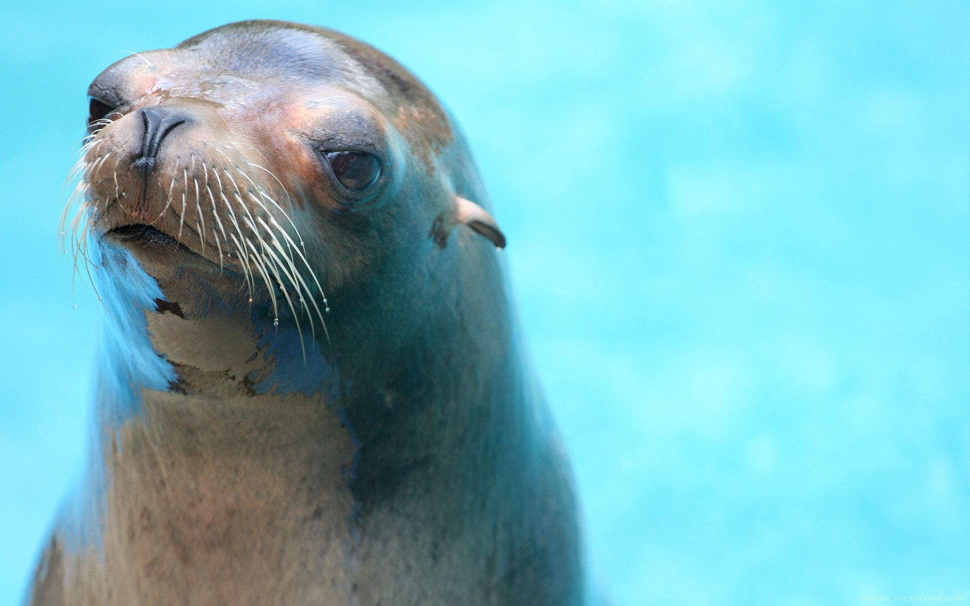 Sea Lion HD Wallpapers