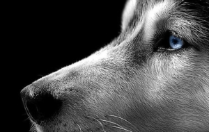Siberian Husky HD Background