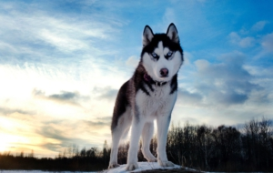 Siberian Husky Wallpapers