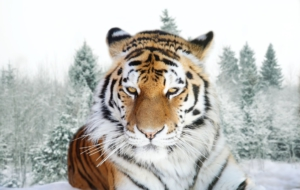 Siberian Tiger Computer Wallpaper