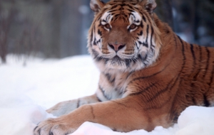 Siberian Tiger HD Background