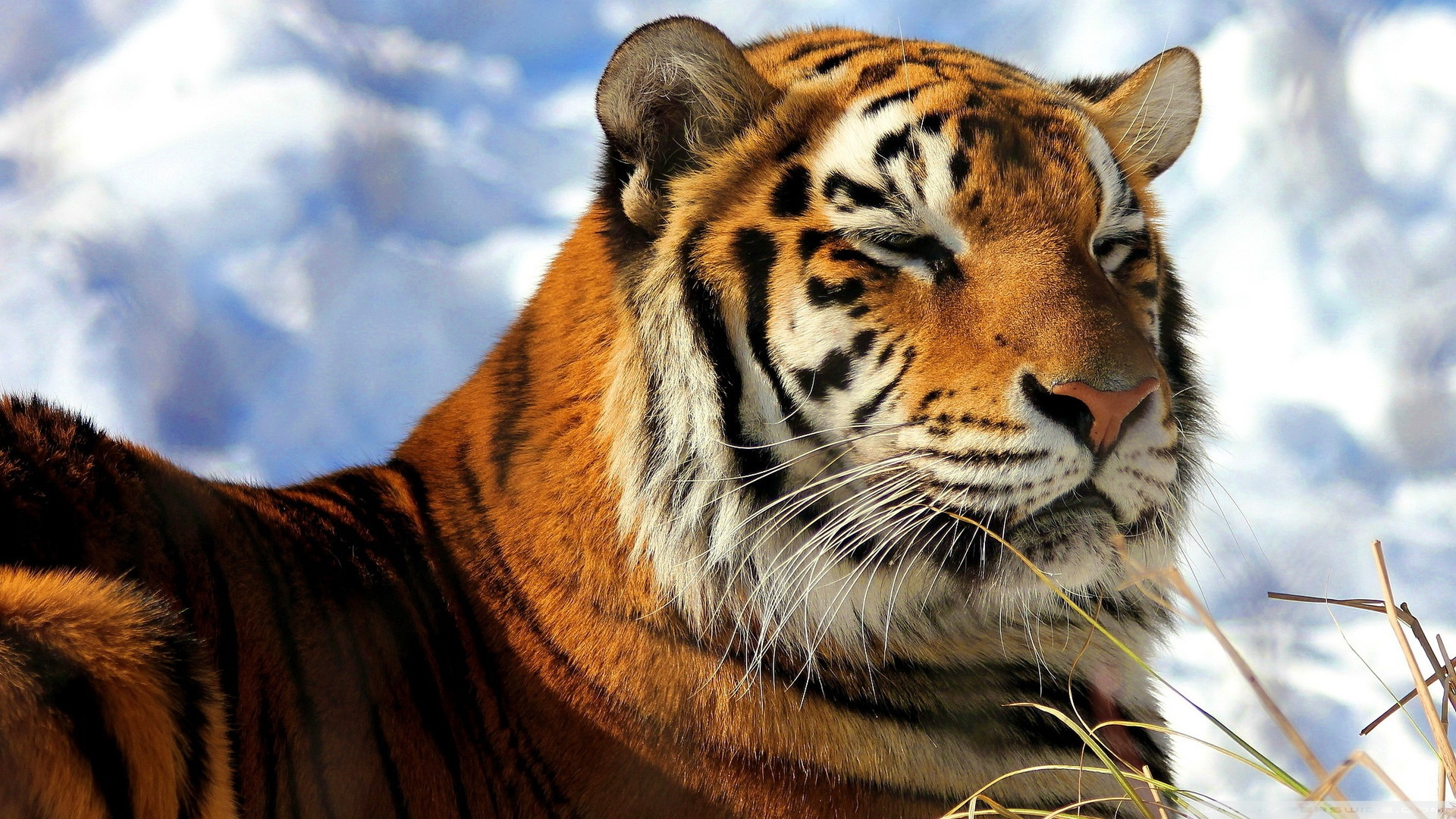 Siberian tiger hd wallpapers - Tiger hd wallpaper for pc ...