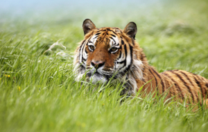 Siberian Tiger High Quality Wallpapers