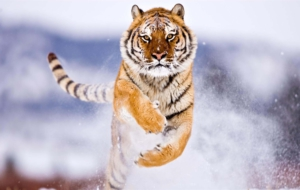 Siberian Tiger Photos