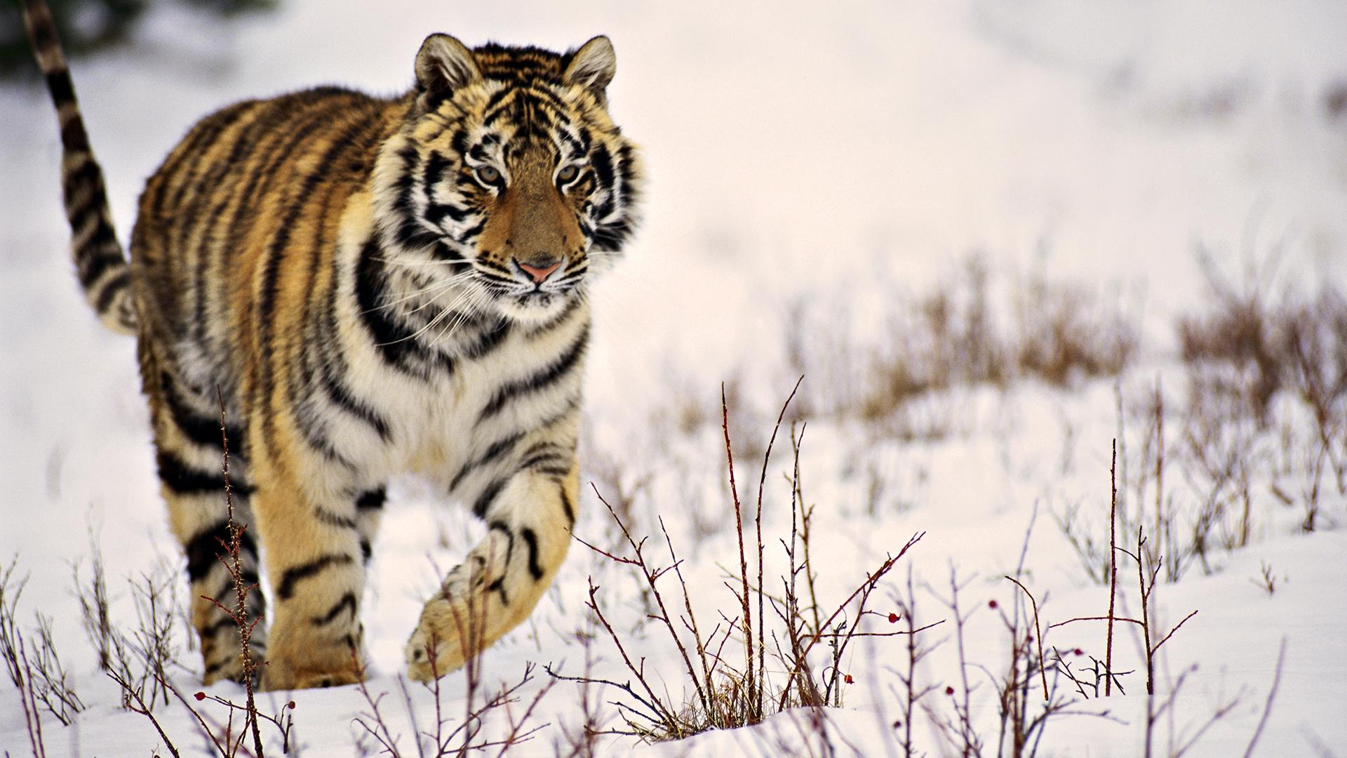Animals Tiger Snow Wallpapers Hd Desktop And Mobile: Siberian Tiger HD Wallpapers
