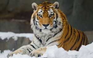 Siberian Tiger Wallpapers