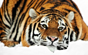 Siberian Tiger Wallpapers HD