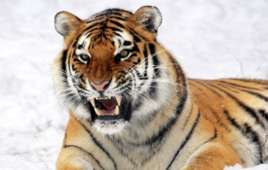 Siberian Tiger Full HD