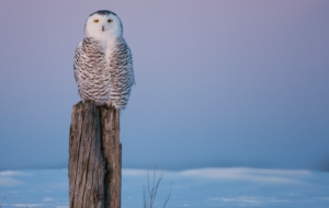 Snowy Owl Background