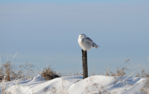 Snowy Owl HD Background