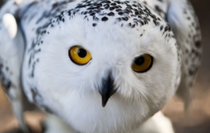 Snowy Owl HD Wallpaper