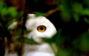 Snowy Owl High Definition