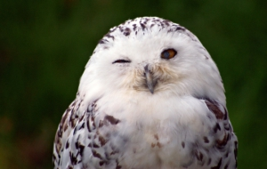 Snowy Owl High Definition Wallpapers