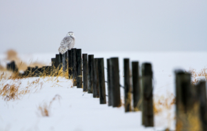 Snowy Owl High Quality Wallpapers