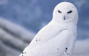 Snowy Owl Photos