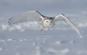 Snowy Owl Pictures