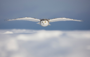 Snowy Owl Wallpapers HD