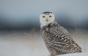 Snowy Owl For Deskto