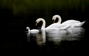 Swan Pictures