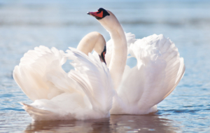 Swan Wallpapers HD