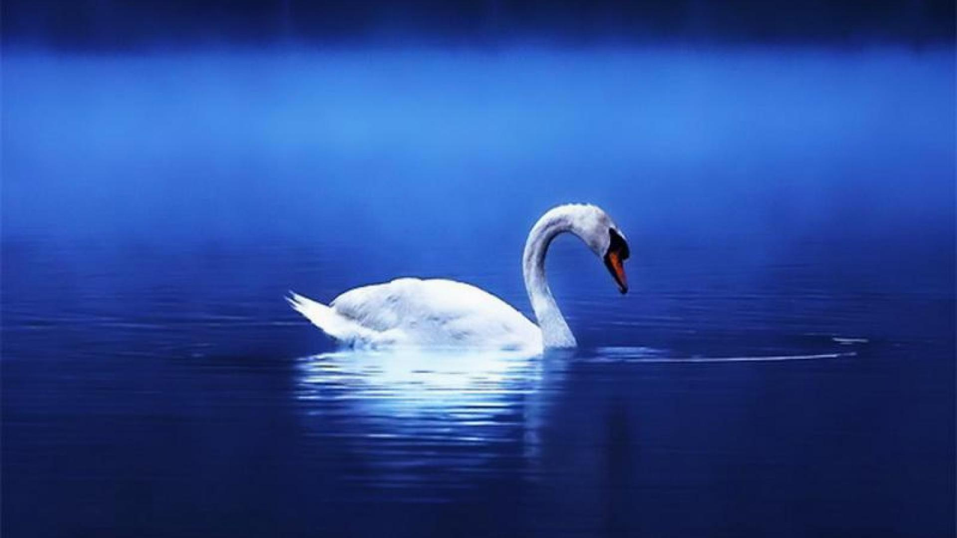 Swan Hd Wallpapers HD Wallpapers Download Free Images Wallpaper [1000image.com]