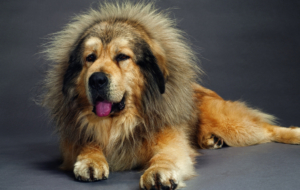 Tibetan Mastiff Background