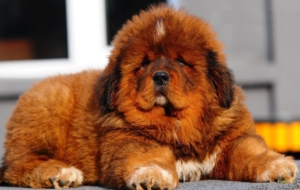 Tibetan Mastiff Computer Wallpaper