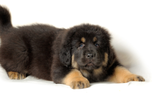 Tibetan Mastiff HD Background